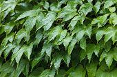 Blätter der wilden Weintraube