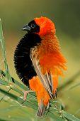 Hombre pájaro rojo del obispo