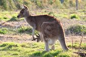 Mother kangaroo with joey