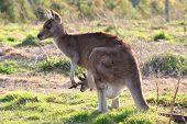 Mother kangaroo with joey