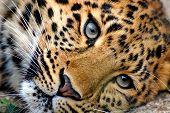 Far Eastern Leopard, Or Amur Leopard (lat. Panthera Pardus Orientalis) Is Resting. Closeup, Portrait poster