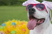 image of bunny ears  - A dog wearing pink sunglasses with bunny ears and surrounded by easter eggs in plastic grass - JPG