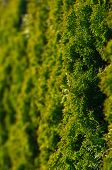 Garden Hedge Background Made Of Thuja Trees poster