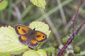 picture of gatekeeper  - Gatekeeper Butterfly  - JPG