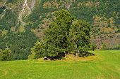 Grass Pasture On Mountain Landscape In Flam, Norway. Cows Under Green Tree On Grassy Meadow On Sunny poster