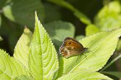 stock photo of gatekeeper  - Gatekeeper Butterfly  - JPG