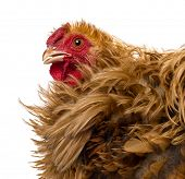 Crossbreed rooster, Pekin and Wyandotte, close up against white background