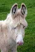 picture of jack-ass  - Young creamy colored donkey complete with winter coat - JPG