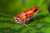 red frog on leaf in Panama rain forest Bocas del Toro, poison dart frog oophaga pumilio exotic tropi