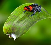 poison dart frog red blue and black small amphibian of tropical Amazon rain forest Peru dendrobates