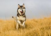 stock photo of husky  - A husky dog running through a field - JPG