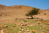 image of samaria  - Herd of Goats Grazing in the Mountains of Samaria Israel - JPG