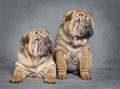 Shar-pei Puppy Dogs