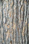 Bark Of A European Larch