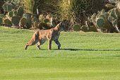 Arizona Bobcat Stalking It'S Prey