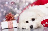 bichon frise puppy dog and and New Year gift