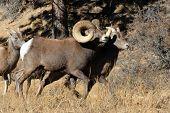 Bighorn Sheep Running