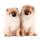 Puppies Of A Spitz-dog