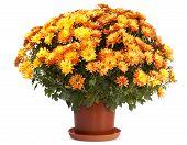 Chrysanthemen in flowerpot