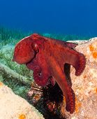 A Red Octopus On An Old Manmade Barrel Underwater