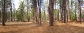 Panorama, Ponderosa Pines,