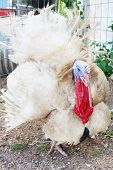 picture of turkey-cock  - Large old turkey - JPG