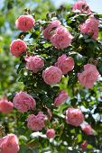 Bush of pink climbing roses in a garden