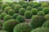 Boxwood - Green garden balls in Loire Valley, France