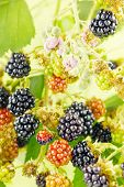 Blackberries on a twig in a bush with blackberry blossoms