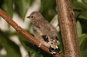 Young Goldfinch. Carduelis carduelis.
