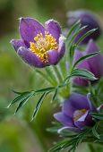 Pasque Flower (Pulsatilla patens) Glows