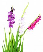pic of gladiolus  - Beautiful gladiolus flower isolated on white - JPG