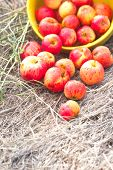 Apples On The Dry Grass