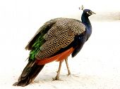 Male Peafowl standing and walking.