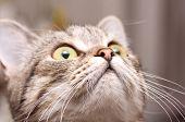 Portrait of Scottish-straight gray beautiful cat .