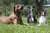 stock photo of hound dog  - three dogs  - JPG