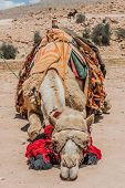 stock photo of petra jordan  - camels in nabatean petra jordan middle east - JPG