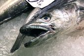 Close up of a Hake fish