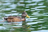 Mallard Duck Female Swimming On Water Surface