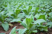 foto of tobacco leaf  - Tobacco plantation green leaf tobacco in field - JPG
