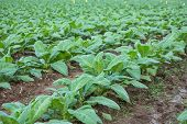 picture of tobacco leaf  - Tobacco plantation green leaf tobacco in field - JPG