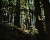 pic of redwood forest  - Ethereal Redwood Sequoia Forest - JPG