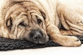 Adult Sharpei On Floor Looking