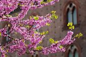 Pink Blossoms With Castle Of Pavia In Background