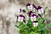 Colorful And Vibrant Pansy Flowers