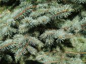 Close Up View of Blue Spruce Branches