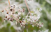 picture of crepe myrtle  - Rain freezes on crepe myrtle seed clusters in winter rain storm