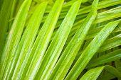 Green leaf of palm tree closeup. nature