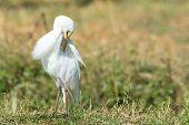 Intermediate Egret (egretta Intermedia) Preening