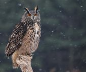 pic of snow owl  - A Eurasian Eagle Owl  - JPG